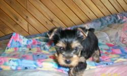 I have two beautiful female Yorkies left The tails and Dew Claws are done. First vaccine and Microchip along with deworming are also done. These little girls come with a one year health guarantee and six weeks of Pet Insurance.They are raised in my home