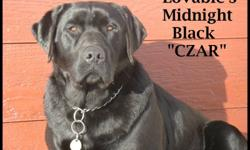 LOVABLE LABS  HAS CKC REGISTERED PUREBRED LABRADOR RETRIEVER PUPPIES  DUE FEBRUARY 28TH.... TAKING DEPOSITS NOW....PUPPIES WILL BE SILVERS AND BLACKS...COME FROM HUNTING AND SHOW LINES. CZAR IS SIRE AND STARDUST IS DAM....MORE PICTURES ON WEBSITE:
