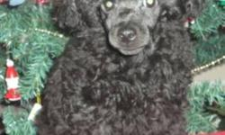 I am searching for my forever family. I need someone who will love me forever and provide me a great home. Maybe even a child or two to play with. I am a 13 week old black (but I may turn blue) CKC registered toy poodle. I will mature at about 6 1/2 to 7