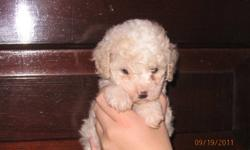 We have 2 poodle X cocker spaniel female puppies (white and black).  They are $300 the vet check, vaccinations and de-worming are included.  The mother is a cream miniature poodle (13 inches to the shoulder and the father is a cocker spaniel 15 inches to