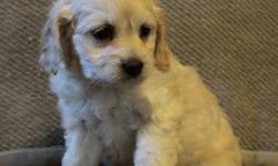 Super sweet cockapoo puppies now available! They are very cute and loving little puppies. They are half cocker spaniel and half poodle, and the look is just perfect! They have white/cream and light apricot colouring and smooth to wavy hair. We have 4