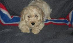 Cockapoo puppies for sale. Ready to go! Very charming and alert little bundles! Cocker Spaniel x Poodle. Have had their vet check, first shots, dewormed and tails docked.Will go home with a free Loyall puppy pack, including a free bag of puppy food, and a