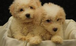 We have Cockapoo puppies that are ready to find new homes today! They are 8 weeks old and ready to be individually loved and cared for. Their mother is a Miniature Poodle and their father is a Cocker Spaniel. These puppies are very cute and well behaved.