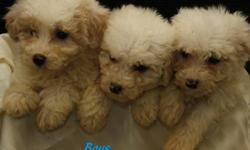 ** We have Cockapoo puppies that are ready to find new homes today! They are 8 weeks old and ready to be individually loved and cared for.   These puppies are very cute and well behaved. They have been around children and play very gently. They are very