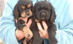 we have a litter of 8 cocker spaniels born nov 9 ,they will be 8 weeks jan4,they have had their first parvo shot and have been dewormed ,just give usa call ,cell 403-627-9162 home 403-627-3692 there are 3 boys and one girl left ,she is the one on the left