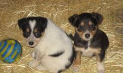 Collie Shepard Mix Puppies have been Vet Checked and Given First shots and Dewormed Will mature to about 60 lbs Ready to go
