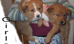 Collie (rough) x Lab Pups Parents are Great Farm Dogs. 10 weeks old. Have 1st. booster shot, that's why the charge.   Pups have been raised outdoors & good with small livestock. These will be large +70 pound dogs. Warm medium length coats.     If the