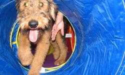 Hi, my name is Shags.  I'm a 5 mos old Airedale Terrier and full of life.  I'm a good boy n'all but mommy & daddy think that we should get another dog so that I have a playmate.  We've got a skookem set up here with a doggy door leading to a big