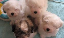 I have one little tri-colour female puppy and one all white male puppy that are now available for their new homes. The parents live with me, are both multi-champions and have been health checked and screened for temperament before being bred. They have