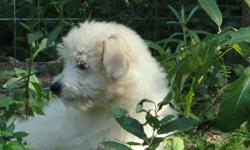Registered purebred Coton de Tulear young female  forsale to approved home. She was born June 10th of this year, so she is well on her way to being house broken and you can by pass the puppy stage, she has been in a crate, vaccinated, wormed and is well