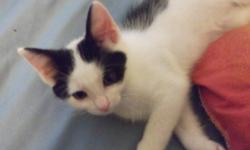 2 Beautiful Kittens ..... Both are Male .. 1 black and white and one black with small white patch on his neck The Kittens are litter trained and eating solid and wet food The mother and father are both smaller cats so im assuming the kittens will be