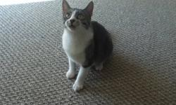 This kitty was rescued on August 2, 2011. She is a gray and white female, presumably young (around a year old) as she is very playful and energetic. She is also very affectionate towards humans. Has a clean bill of health and immunizations are up to