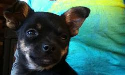 Cute Chihuahua puppies in need of loving homes. One fawn male and one black and tan male. 4-5lbs when full grown Parents are healthy and good natured Champion bloodlines and vet checked, immunized and dewormed. In home raised, great with children, quiet,
