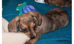 Gorgeous chiweenie puppies.Very playful puppies, with beautiful colors. Mom is a dashchund, and father is a chihuahua, our puppies have been dewormed and do have their 1st vaccination. My puppies won't get bigger the 7-8lbs, and as you can see are as cute