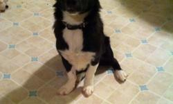 I can no longer keep my dog because we don't have enough time for her. She is a collie corgie crossed with a shitzu. She is 7 months with all her shots and has a Great personality. I'm willing to give her up for 150 OBO. The 150 includes her, a kennel,