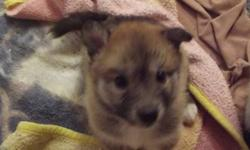 Hi My name is________, well thats up to you. I am cute, loving and playful. I would make a great christmas present for you and your family! My Mom died when I was only three weeks old, she was attacked by an animal. so I have been hand raised on puppy