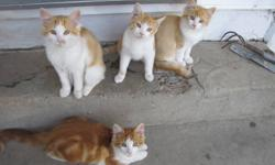 4 friendly and adorable kittens are ready to go to their new homes Super affectionate and cuddly 3 long-haired and 1 short-haired