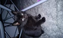 I have 4 kittens that need a great home to grew in. They are weaned just need a little training. I'm not sure on the exact age but it is around seven or eight weeks. Two of them are black and two of them are black and white. I have no time to take care of