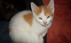 i have 3 kittens for new homes mother on site 1 female --  white a little black & beige 2 males -orange/beige & white , black & white  they are all eating solid food an drinking water litter trained