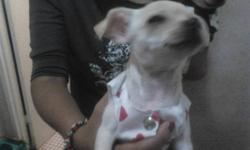 chihuahua 2 pupies for sale female 2 lb small size white colored fure male is 3 lb brown color fure also small size  for mor info contact olga & fernando @ 647-282-9047 olga        416-318-7997 fernando