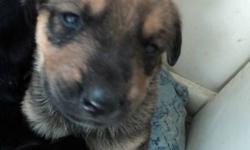 i have beautiful marked puppies for sale dad is bullmastiff rotti  i have 4 brown females left the male has been picked out i have 3 black males and 3 female black ones all with the rotti markings they will be ready for valentines day if you want to come