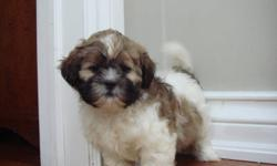 """SHIH POO PUPPIES""""MAGGIE"""" - ALL PHOTOS ARE OF HER   They are mostly brown with some white. They will stay small, and will mature to be around 11 lbs. Shih Poos are a mix between a Shih-Tzu and a Toy Poodle. They are hypoallergenic. Our puppies are $450"""