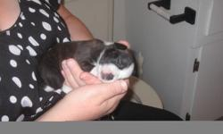 i have the cutest puppies. The mom is a shitz/pom. The dad is a boston terrier/pug. I have 3 left. One boy and two girls. One of the girls looks like a little pitbull, she has white and brindle markings. The other girl looks like a boston terrier but with