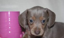 THESE WILL BE SPRING PUPPIES.  BEST TIME OF THE YEAR TO GET A PUPPY  These   adorable Mini Dachshunds  They are a vet checked and wormed, 1st shots done before they leave our home . They are all about huge ears and amazing colors and personality plus. We