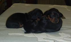 miniature smooth dachshund puppies,2 males and one female,they are black and tan,mom is dapple,she is in the last 2 pictures,they will have there first shot and dewormed,they are ready to go in January,taking deposit now  of a $100.00 to hold your