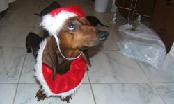 Purebred Dachshund puppies in time for Christmas gifting. 2 beautiful boys, 4 gorgeous girls. Come and meet them. Place a deposit and take a photo to put in a Christmas card. At 10 weeks old (January 5, 2012) your puppy will be ready to go home.  Mom is