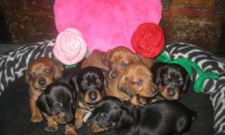 Born Christmas Day ready for Valentines smooth haired mini dachshunds raised in my home will receive 1st shots and de-worming. out door training begins at 6 weeks Mother is a red smooth haired Father is a black and tan short haired 2 females blk and tan 2