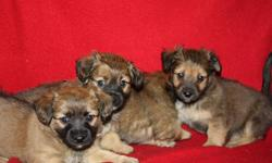 I have a beautiful bunch of Daschund mix terrier puppies for sale there is 3 males and 1 female in the litter ,they are ready to go this weekend at 8 weeks old ,they have been to the vets for their check up and have had their firt vacine ,they come with