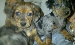 These adorable puppies are double dapple very rare marking puppies.  Dad is double dapple long haired purebred Daschund and mom is Daschund short haired. The puppies are healthy, happy, very gentle natured, and extremely adorable! Please call 250-765-0052