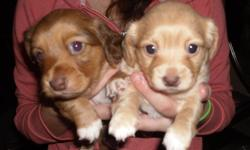 I have two great puppies left. 1 girl and 1 boy both solid coulors the girl is the lighter brown and the male is the dark brown. They will be ready just before x-mas and they are a great little dog for familys, the puppies are great with kids and other