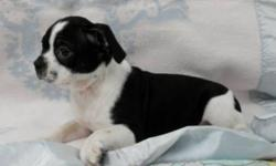 This little boy is 3/4 Boston Terrier and 1/4 Beagle. He is going to mature around 17-18lbs as an adult. He has had two vaccinations and preventative deworming as well. We provide a health warranty with his health records as well as a puppy gift bag. I am