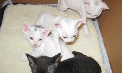 Devon Rex cats are non shedding, which make them a great choice for people who have allergies. These kittens will not be big, as mom is only 4.5 pounds and the father is around 5 to 6 pounds.  The kittens will have their first set of shots, will be litter