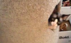 We have 2 purebred devon rex kittens available for adoption. They will be ready just before christmas! One male and one female. Their mother was a light tortoiseshell and their father was a blue point with ice blue eyes. They are both black and white