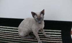 My lease is up on my house and I am so sad but where I am moving is a strict No pets allowed. Sushi is my 2 year old Devon Rex and he is a sweetie. My kids carry him everywhere, he loves to play. He has been a complete joy to own and we will be very sad