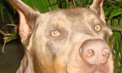 Hi my name is Kain, I am a fawn/tan male, 4 years old, cropped, tail docked, dewclaws removed, intact and house trained. I am great with people and love to play. I am good with other female dogs but I am afraid of other males. I am used to a country