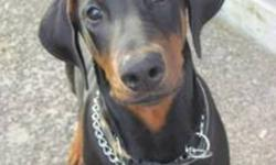 I'm selling my 8mnth old Doberman. He is house trained and great with children, he listens well on or off leash. He needs a good permanent home. He is a large breed dog and is still growing. $400 O.B.O