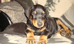 I am a breeder of Dobermans for over 17 years with European bloodlines.  Father of the pups weighs around 120lbs. Mom weighs 90lbs also. Our litter was born August 11th. Tails docked, dewclaws removed, two dewormings and 1st shots done. Pups are