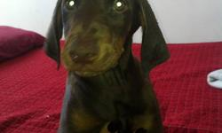 Pinschers puppies black & tan 1 female and 3 males rust and tan available. Puppies have already been dewclawed and tails docked. First set of shots and deworming will be done at 5 weeks.