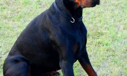 We have a 4 year old male Doberman for sale. His ears are clipped and his tail is docked. He is not neutered. He does not go around marking - (Could negotiate getting him neutered if preferred). He is registered and comes from the United States, however