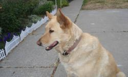 Free to a good home-a 7 1/2 yr old spayed female golden lab/malamute/possibly chow cross dog. All immunizations up to date. Is not good with men or other dogs. Would be most suitable for older lady as a companion-she is more of a loner-short periods of