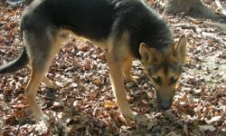 For adoption at our shelter: 4 male dogs, all young: 1. purebred German Shepherd, about 7 months, will grow into a very impressive dog.  Needs calm, positive training as he is nervous in new situations.  Right now he's just a big goofy puppy. 2. a black