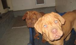2 purebred registered french mastiffs left. Red in color. 3 months old. Both parents are registered and can be seen. First picture are of both puppies, second and third of the two different puppies seperately. Please call or email if you would like more