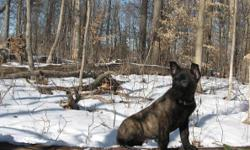 Dutch Shepherd puppies,Almost ready for there forever Homes! They are Vet checked, first vaccinations and dewormed. Very active and full of energy. They are a Jack- of -all- trades dog, Excellent in agility, personal protection, herding, and family
