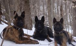 DUTCH SHEPHERD PUPS FOR SALE Born May 12, 2011, these pups are solid working dogs and are already doing some basic agility, multiple surface work and socialization. Crate trained also. The pups are de-wormed, vet checked and ready to go to serious