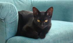 This sweet young cat named Ebony Rose, a name that suits her sweet personality, needs a home. She's enjoying life with a young foster mother right now and has been rescued from an uncertain future. According to her foster mother, Ebony Rose is a delight.