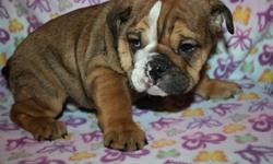 3 MALES LEFT PLEASE SEND YOUR NUMBER REDUCED TO 1699$ WOW  ! WE HAVE WONDERFUL ENGLISH BULLDOG PUPPIES FOR CHRISTMAS ,,PLEASE SEND YOUR CONTACT INFO IF INTERESTED , MALES ONLY AVAILABLE !!!!! PUPPIES ARE TATTOED MICROCHIPED AND COME WITH A 2 YEAR HEALTH